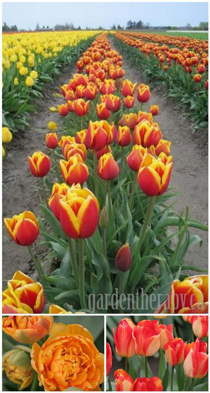 Skagit Valley Tulip Festival + How to Grow Tulips