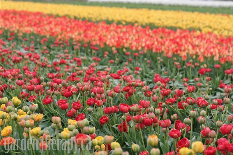 Tulips at the Skagit Valley Tulip Festival