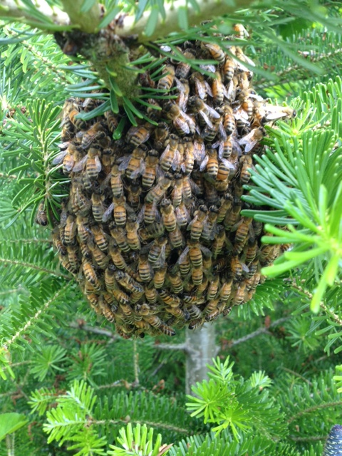 Bee Swarm At UBC Farm