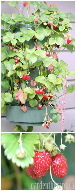 Hanging Strawberry Bag Planter with lots of berries