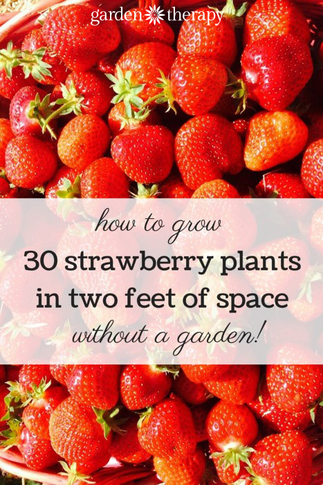 Hanging stawberry planters produce a huge number of berries and can be placed anywhere there is sun and water!