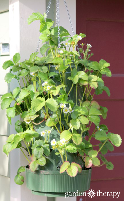 How to grow strawberries in Hanging Planters tutorial