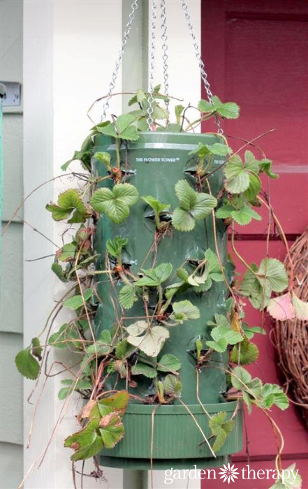 Strawberry Planter still growing in - wait until you see the AFTER photos