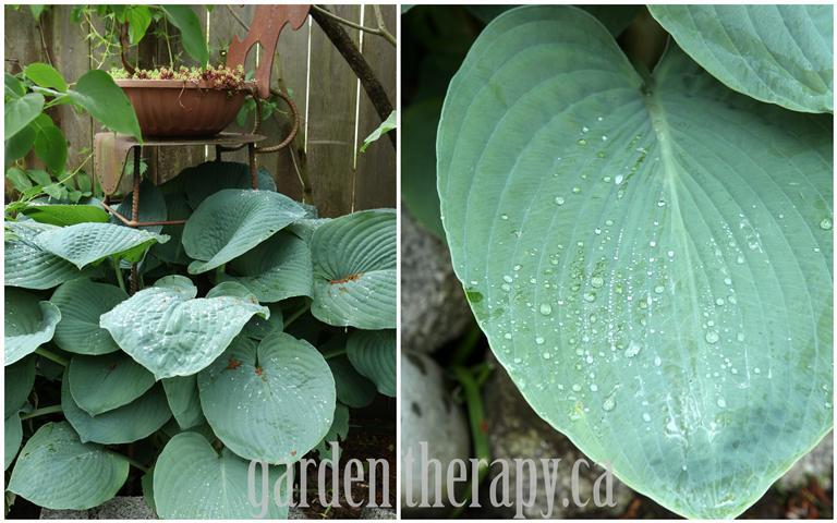 blue big leaf hosta