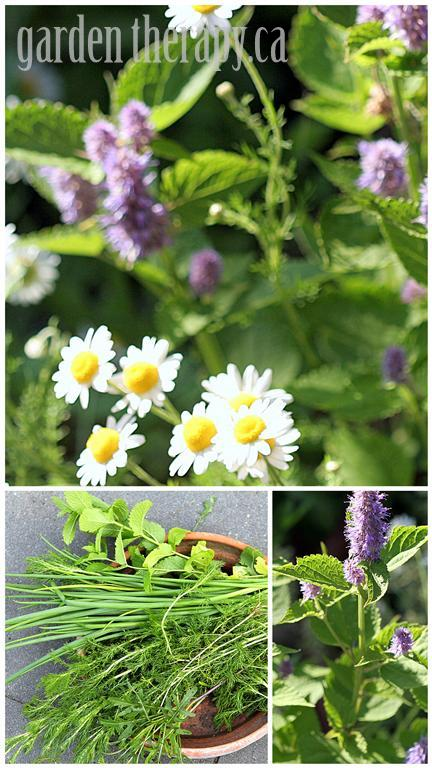 Chamomile, Anise Hyssop, and harvested herbs