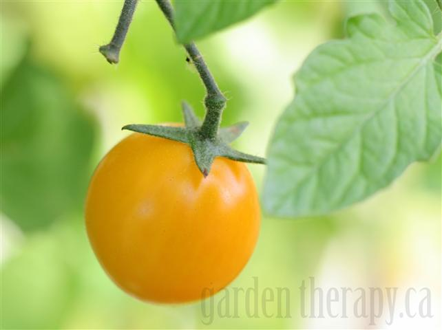 Cherry Tomato 'Gold Nugget'
