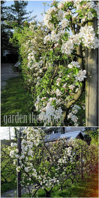 Espalier Apple Tree Fence at Community Garden
