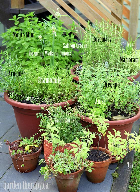 container herb garden growing perennial herbs via www gardentherapy