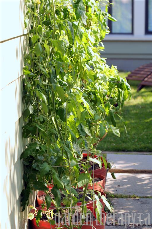tomato plants in self watering containers