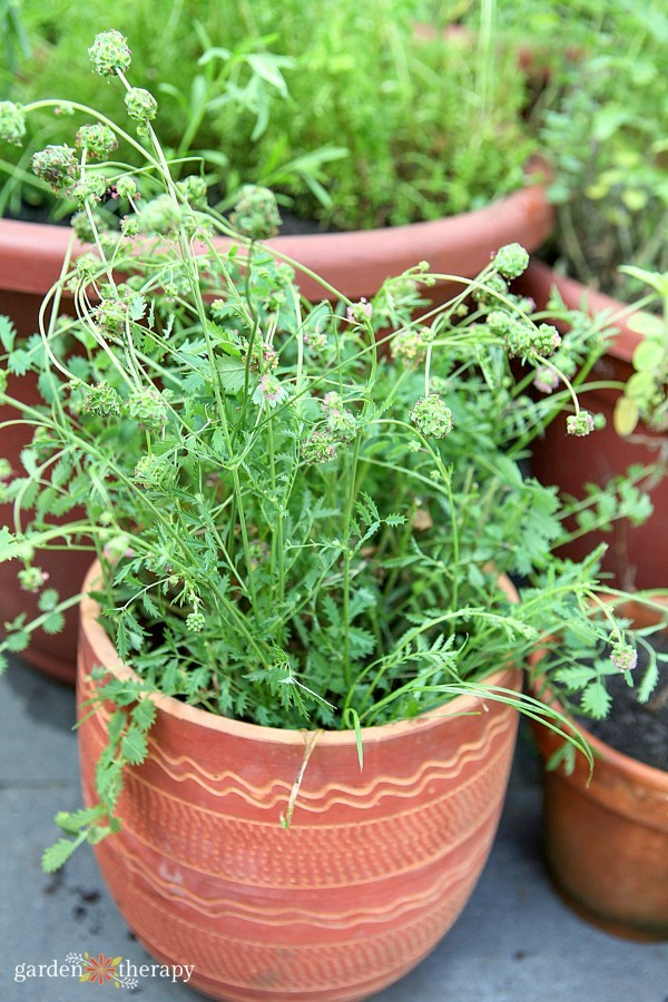 salad burnet grows well in a container
