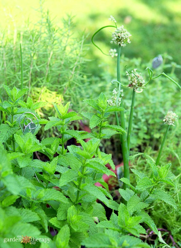 perennial herbs to grow in containers