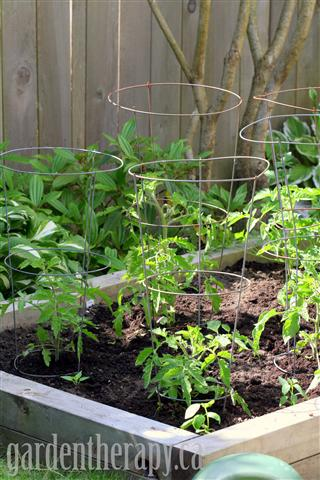 raised vegetable garden bed with tomatoes