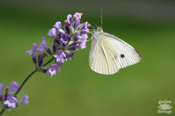 Cabbage Moth on Lavender Flower