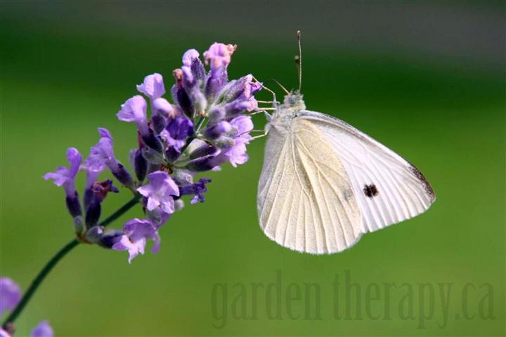Cabbage White Butterfly on English Lavender