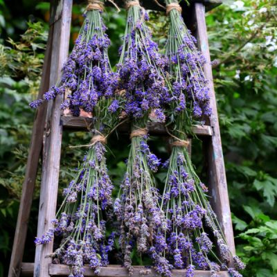 Harvesting English Lavender Plants and How to use Lavender