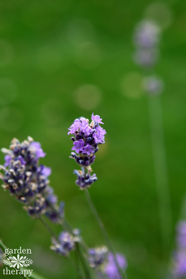 English Lavender buds
