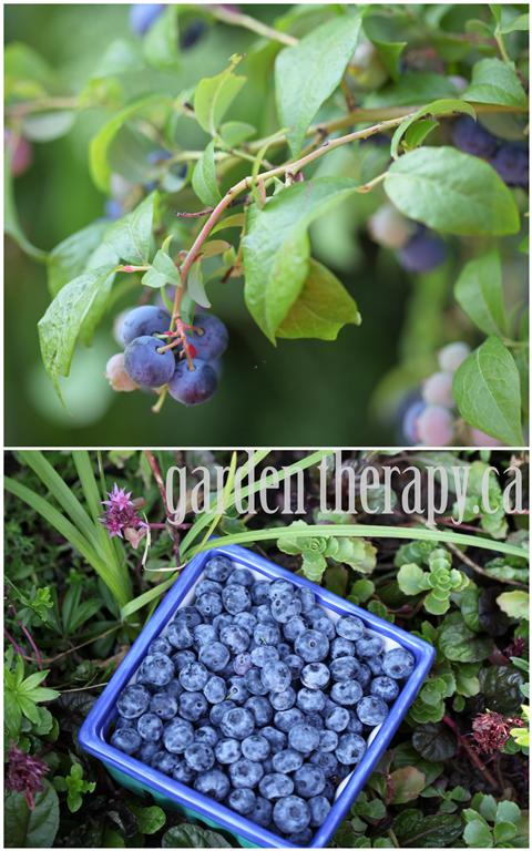 Fresh Picked Blueberries and Berry Basket