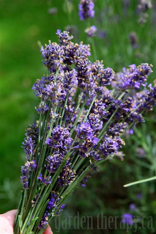 Add lavender to your campfire to keep mosquitoes and bugs away!