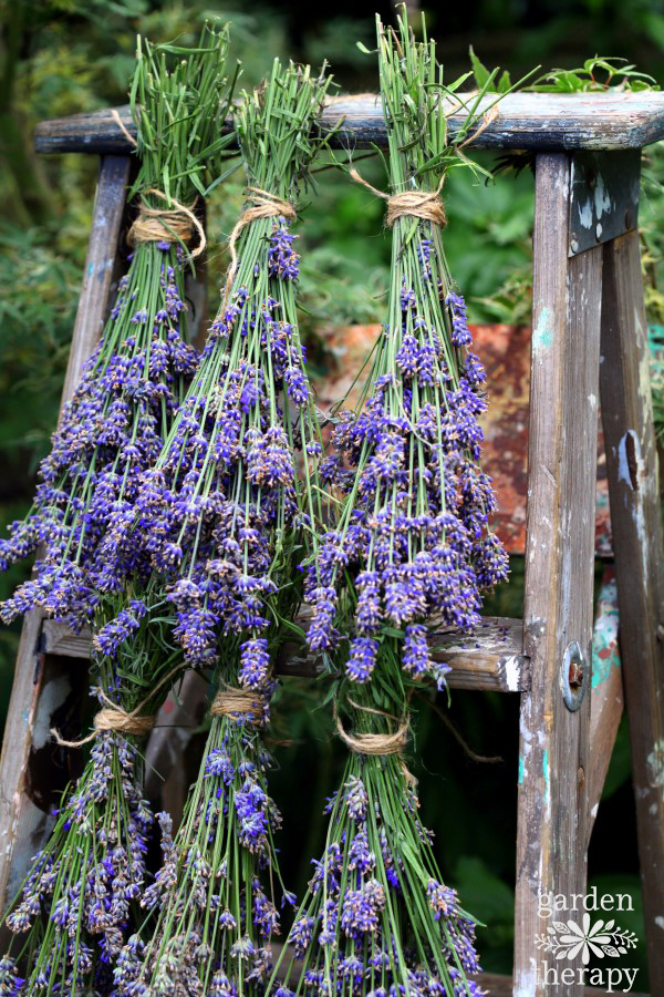 Preserving lavender by hanging it to dry on a ladder