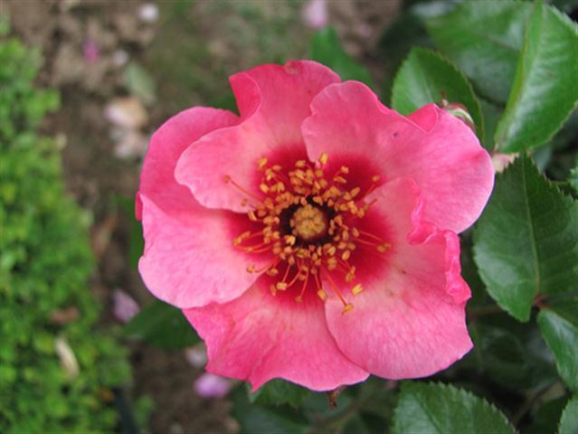 Hulthemia Rose