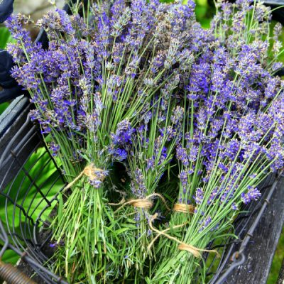 How Harvest English Lavender Plants for Recipes and Crafts