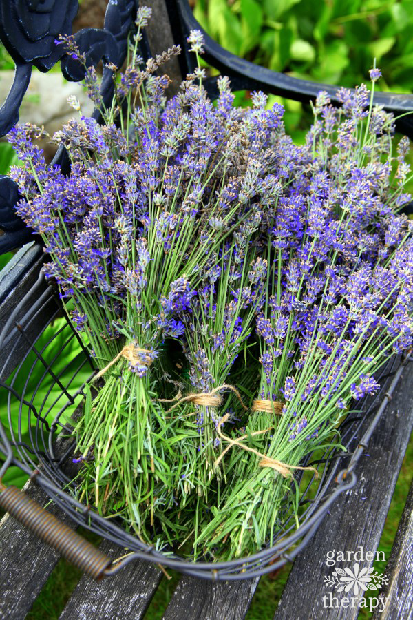 fresh picked lavender tied into bundles