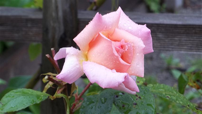 compassion rose