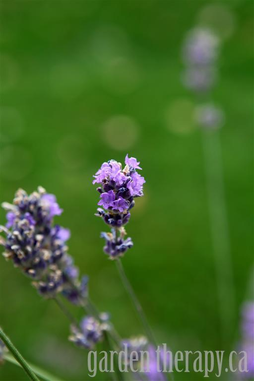 flowering English lavender