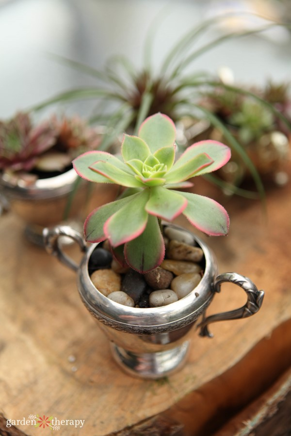 Succulent planted in a silver sugar bowl