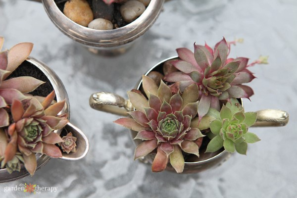 succulents planted in silver dishes