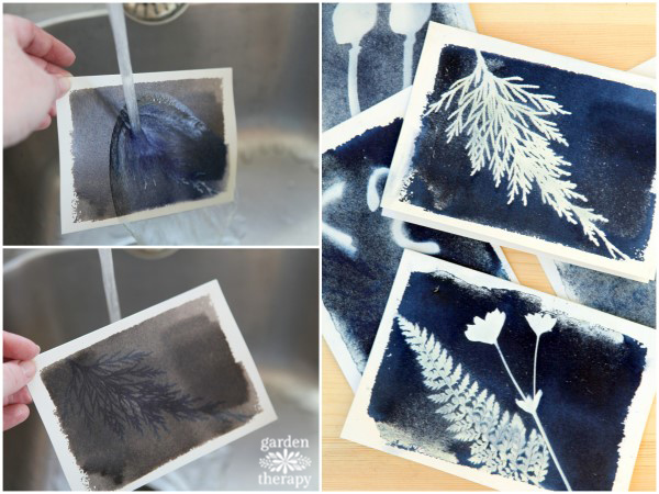 Cyanotype sun printing: washing off the chemicals under a running tap.