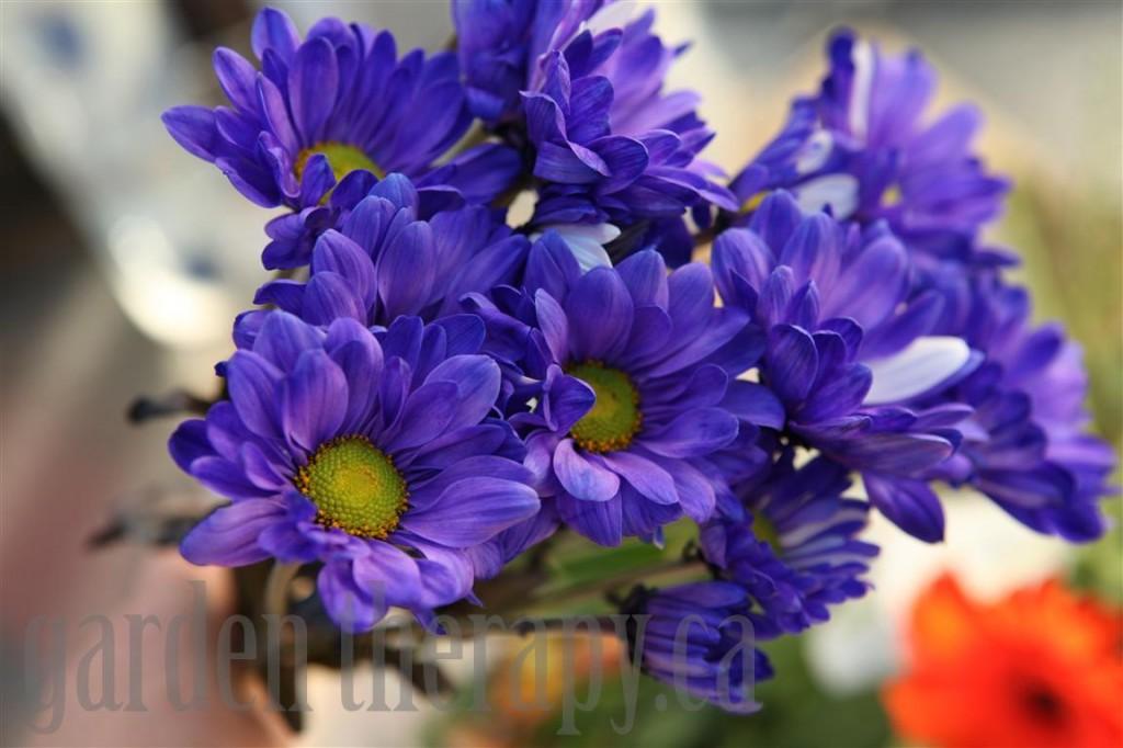 Chrysanthemums dyed blue