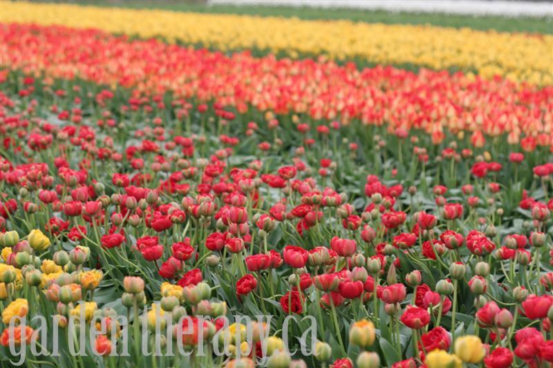 Tulip Festival 2010 9