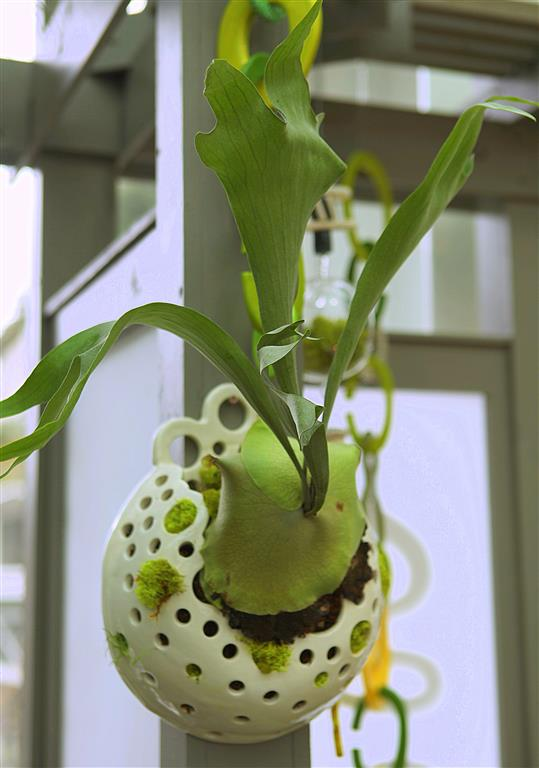 Staghorn Fern in Ceramic Planter