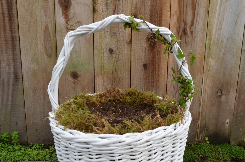 Basket with soil and ivy