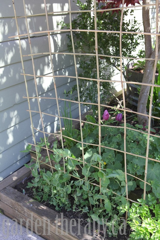 Amazing Sweet Pea Trellis Ideas Part - 6: Bamboo Pea Trellis
