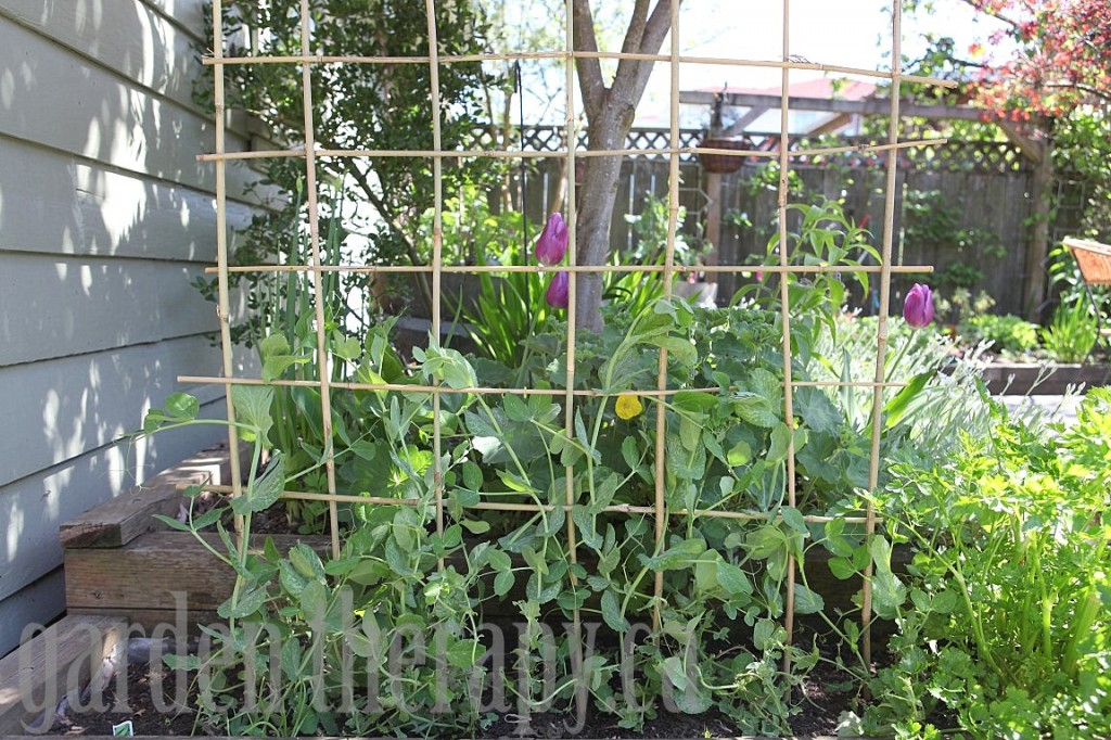 Sweet Pea Trellis Ideas Part - 40: DIY Bamboo Trellis Pea ...