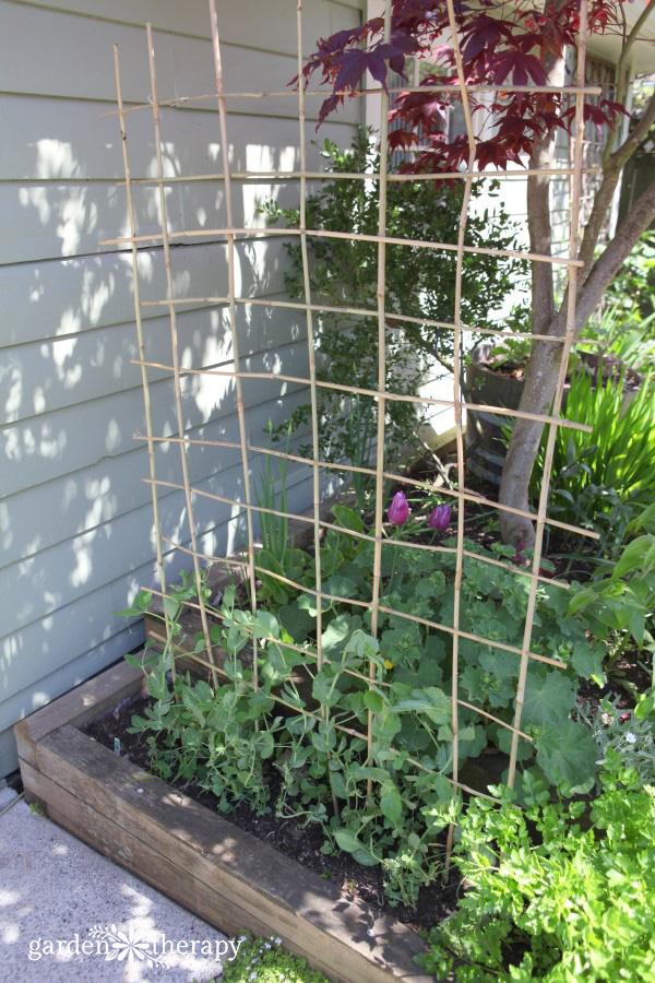 A DIY woven bamboo trellis for peas