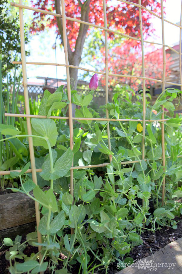 a bamboo trellis for peas to grow up