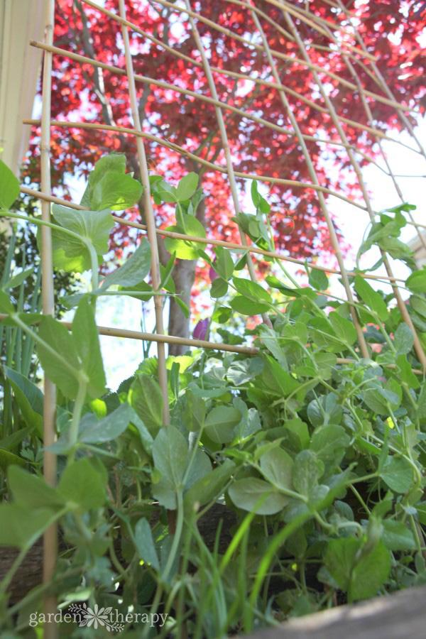 A woven bamboo trellis for peas
