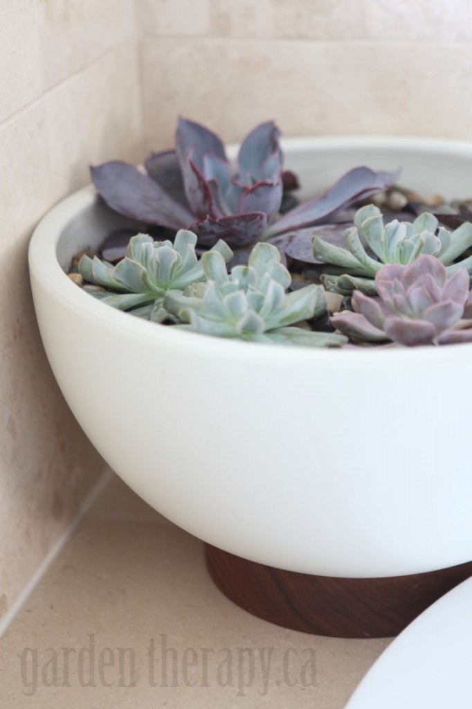 Echeveria in Modernica Case Study Bowl with Plinth