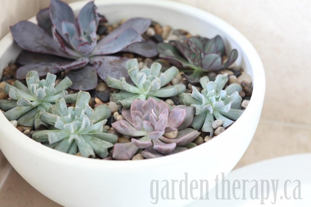 Echeveria in modern bowl planter
