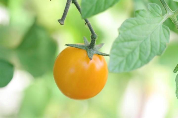 Cherry Tomato 'Gold Nugget'