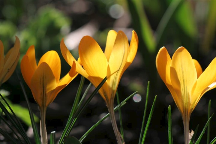 Crocus Golden Yellow Large Small