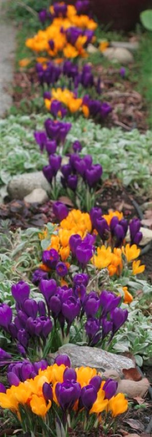 Crocus 'Golden Yellow' and 'Flower Record'