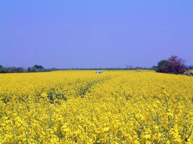 German Countryside Rapeseed Farm