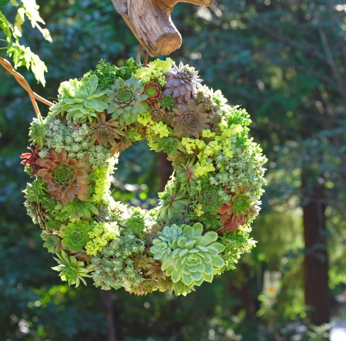 A DIY living wreath made of succulents