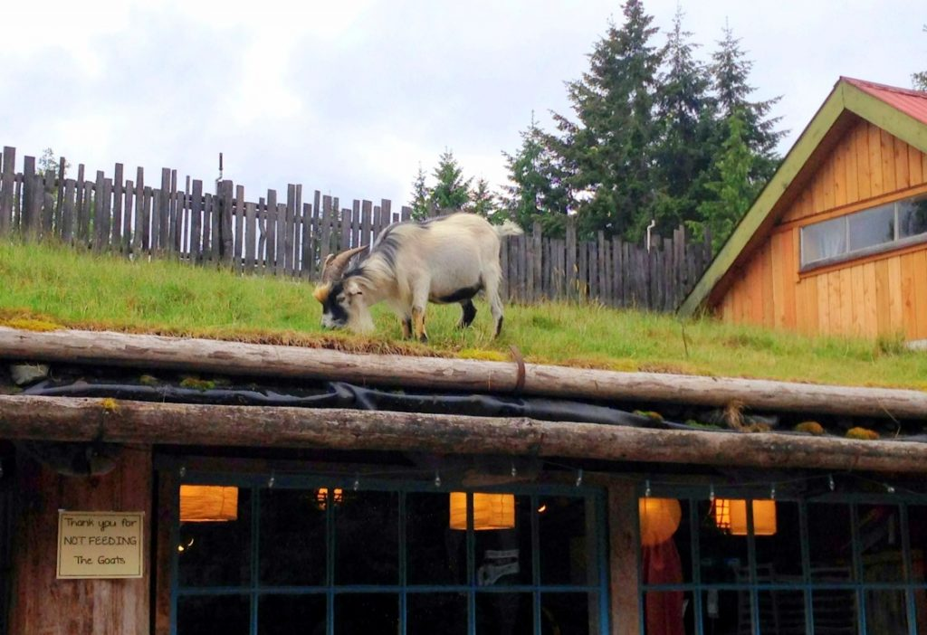 Old Country Market Coombs Goats on the Roof