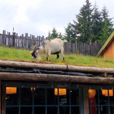Spotted: Goats on the Roof
