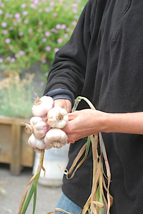 How to Braid Garlic When Dry